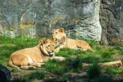 Leeuwen die in de zon bij de dierentuin leggen stock foto