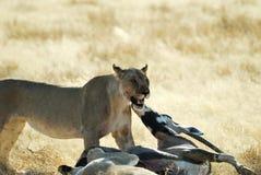 Leeuwen die een prooi, het Nationale Park van Etosha, Namibië eten Royalty-vrije Stock Foto