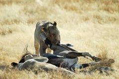 Leeuwen die een prooi, het Nationale Park van Etosha, Namibië eten Stock Afbeeldingen