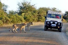 Leeuwen die een weg kruisen stock foto