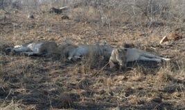 Leeuwen die na een goed het meest fiest van impala liying Royalty-vrije Stock Fotografie