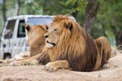 Leeuwen die onder een boom rusten Royalty-vrije Stock Afbeelding