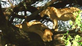 Leeuwen die op de boom rusten stock footage