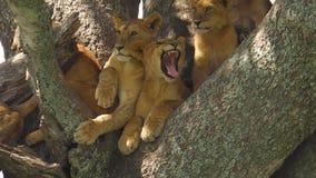 Leeuwen die op de boom rusten stock videobeelden