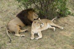 Leeuwen die in Safari Park rusten Stock Fotografie