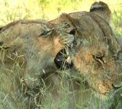 Leeuwen die 2 spelen Stock Foto's