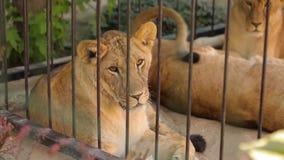 Leeuwen in een kooi De leeuwin rust in het dierentuinvogelhuis, een groep die leeuwen in het vogelhuis rusten stock video