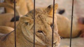 Leeuwen in een kooi De leeuwin rust in het dierentuinvogelhuis, een groep die leeuwen in het vogelhuis rusten stock videobeelden