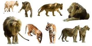 Leeuwen en tigres Geïsoleerd over wit Stock Fotografie