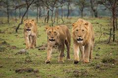 Leeuwen het lopen Stock Afbeelding