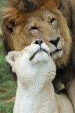 Leeuwen in Liefde Royalty-vrije Stock Afbeelding