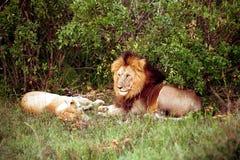 Leeuwen, Maasai Mara Game Reserve, Kenia Royalty-vrije Stock Fotografie