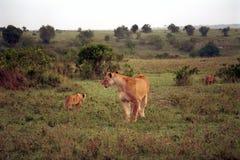 Leeuwen, Maasai Mara Game Reserve, Kenia Royalty-vrije Stock Afbeeldingen