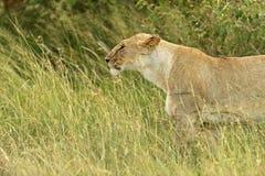 Leeuwen Masai Mara Royalty-vrije Stock Foto