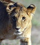 Leeuwen Masai Mara Royalty-vrije Stock Foto's