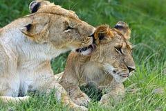 Leeuwen Masai Mara Royalty-vrije Stock Fotografie