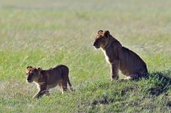 Leeuwen Masai Mara Stock Foto's
