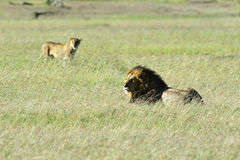 Leeuwen Masai Mara Stock Afbeelding