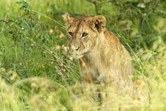 Leeuwen Masai Mara Stock Foto