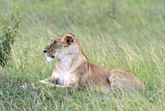 Leeuwen Masai Mara Stock Afbeeldingen