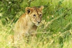 Leeuwen Masai Mara Royalty-vrije Stock Afbeeldingen