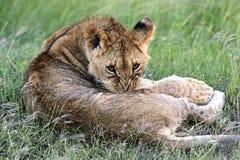 Leeuwen Masai Mara Stock Fotografie