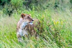 Leeuwen Masai Mara Royalty-vrije Stock Afbeelding