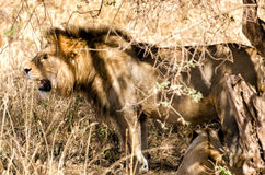 Leeuwen, Ngorongoro-Krater Royalty-vrije Stock Foto