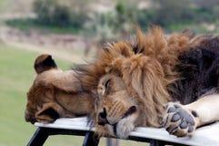 Leeuwen op auto Royalty-vrije Stock Foto