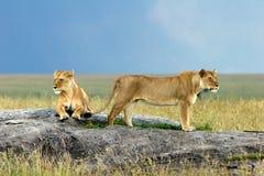 Leeuwen op een Steen Stock Afbeelding