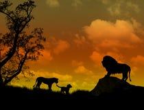 Leeuwen op mooie zonsondergang Stock Afbeeldingen