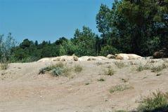 Leeuwen in semi-vrijheid stock foto