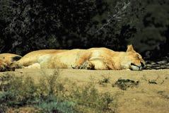 Leeuwen in semi-vrijheid royalty-vrije stock fotografie