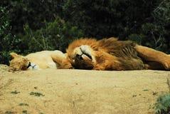 Leeuwen in semi-vrijheid stock afbeeldingen