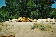 Leeuwen in semi-vrijheid stock afbeelding