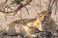 Leeuwen, Serengeti Stock Afbeeldingen