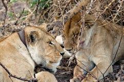Leeuwen, Serengeti Stock Fotografie