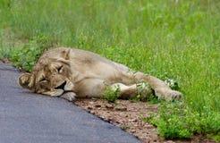 Leeuwen in Serengeti Stock Afbeeldingen