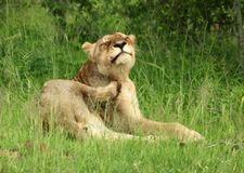 Leeuwen in Serengeti Royalty-vrije Stock Foto's