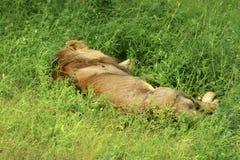 Leeuwen in Serengeti Stock Afbeelding