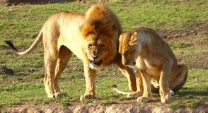Leeuwen in Serengeti Royalty-vrije Stock Fotografie
