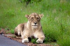 Leeuwen in Serengeti Royalty-vrije Stock Afbeeldingen