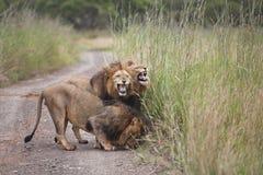 Leeuwen in Zuid-Afrika stock foto's