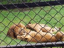 LEEUWENdierentuin stock afbeeldingen