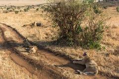 Leeuwfamilie die in het gras liggen Stock Afbeeldingen