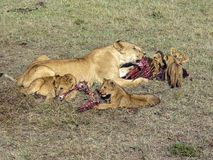 Leeuwfamilie die in Masai Mara National Park eten Royalty-vrije Stock Foto's