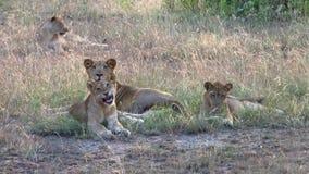 Leeuwfamilie die op de grond liggen stock videobeelden