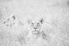 Leeuwgezichten in het gras royalty-vrije stock fotografie