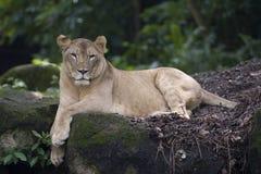 Leeuwin royalty-vrije stock afbeeldingen