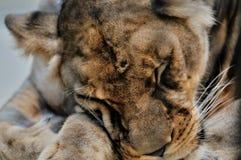 Leeuwin royalty-vrije stock fotografie